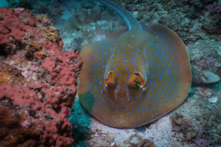 Bluespotted ribbontail ray diving in mabul island travlapp