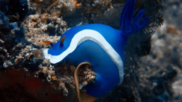 blue-nudibranch-2-scaled-600×338
